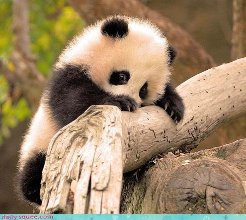 a baby panda snuggling around a tree branch