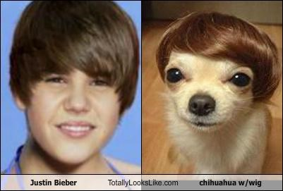 Justin Bieber Totally Looks Like chihuahua w/wig - Cheezburger