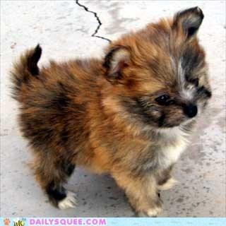 Yorkie + Pomeranian = Yoranian - Cheezburger