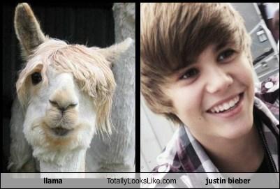 Justin Bieber Llama