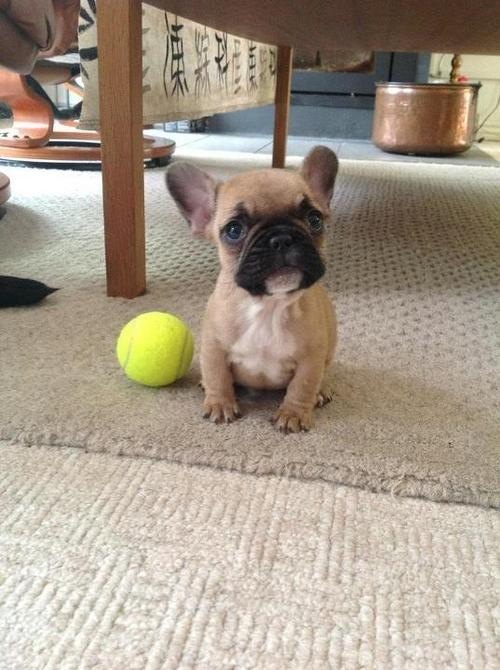 Cyoot Puppy ob teh Day: Too Tiny for Tennis