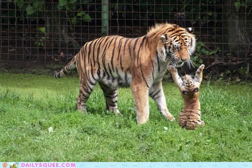 Dramatic Tiger Cub
