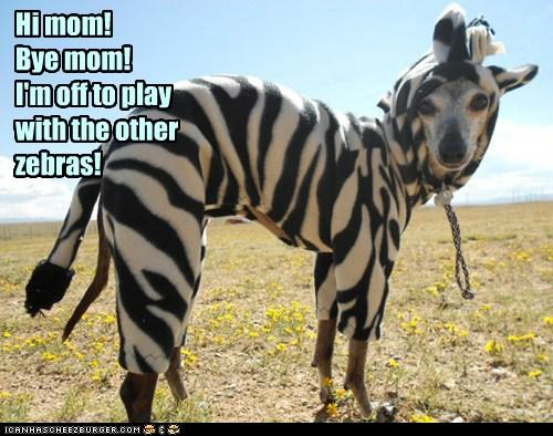 I'm a zebra now!