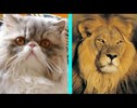 Watch a House Cat Turn Into a Lion in This Makeover Video You Won't Want to Miss