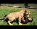 Full Grown Lioness Attacks the Man Who Raised Her... With Hugs and Kisses