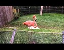 This Flamingo is Dancing Like She's Never Danced Before