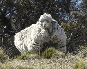 Haircut of the Day: Rogue Australian Sheep Gets 90 Pounds Of Fleece Removed