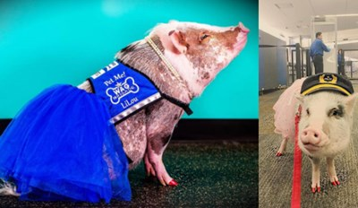 Lilou Is the First Pig to Join San Francisco International Airport's Wag Brigade and She's Hamming It Up