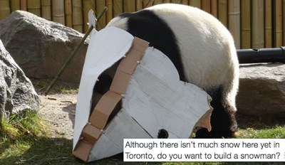 The Pandas at the Toronto Zoo Have Fun With Their Annual Snowman Activity