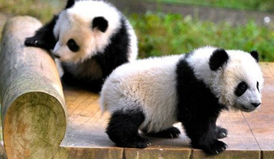 Adorable Panda Twins Make Their Debut