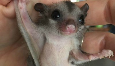 Let These 25 Adorable Pictures of Sugar Gliders Lift Your Spirits