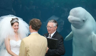 A Beluga Whale Interrupted This Aquarium Wedding With the Best Photobomb Ever