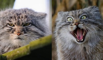 There's a Pallas Cat Reaction Photo for Every Emotion and It's Amazing