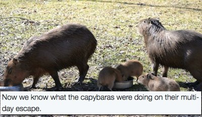 This Bonnie and Clyde Capybara Couple Just Became Parents to Triplet Capybabies