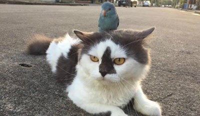 Bird Conquers His Mortal Enemy, Now Forces the Cat to Carry Him Around