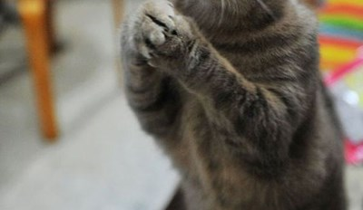 A Picture of a grey cat standing on its back legs begging for food - a cover picture for a meme and funny gifs list on cats who took matters into their own paws and took food.
