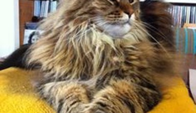 a gorgeous picture of a Maine coon cat lying down -  cover for interesting facts about Maine coons that will make everyone want to get one.