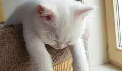 Very lazy cat drooping off the back of a chair - cover for funniest cat memes of the week.