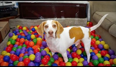 Watch This Puppy Perk Up When He is Surprised With a Birthday Ball Pit!