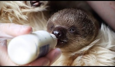 A Day in the Life of an Orphan Baby Sloth