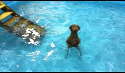 This Dog Did Not Want to Go Swimming, Now He's Just Staring From the Pool, Dissapointed