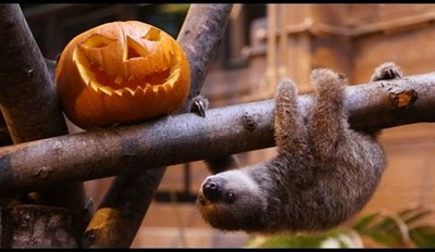 Get Ready for Halloween With This Adorable Baby Sloth