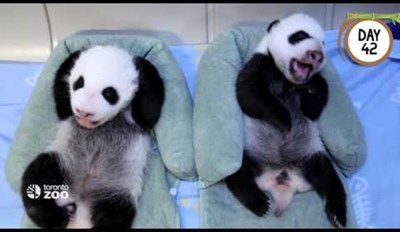 Watch Giant Panda Cubs Transform Into Fluffy Cuties in Their First 100 Days of Life