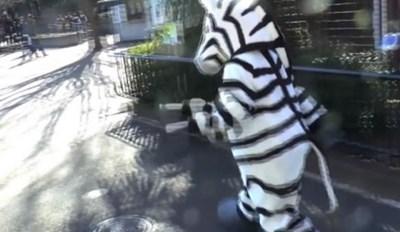 Dafuq is This Escaped Zebra Drill?