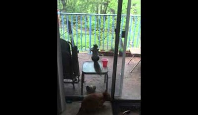 Squirrel Taunts a House Cat by Hanging From Its Screen Door