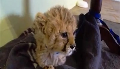 Baby Cheetah Lets Out a Big Roar