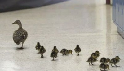 A Lucky Duck Has Been Using a School to Raise Her Ducklings