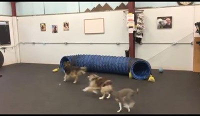 Yackety Sax is the Perfect Soundtrack to This Hilarious Video of Dogs Playing at K9 Fun Zone
