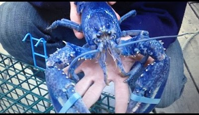A Rare Blue Lobster Named Blueberry Was Set Free by Some Nice Fishermen