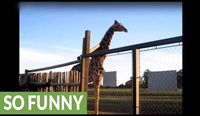 Watch One Giraffe Break a Gate and Another Try to Fix It