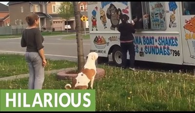 Pit Bull Patiently Waits in Line for the Ice Cream Truck