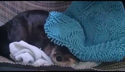 Sleepy Otter Refuses to Get out of Bed