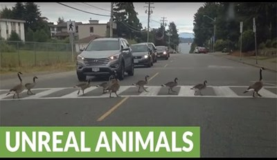 Check Out This Big Family of Geese Using a Crosswalk