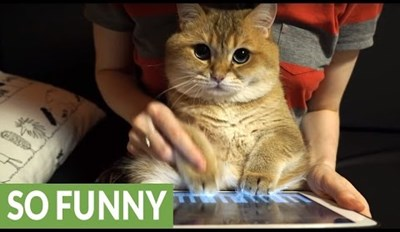 Chubby Cat Reluctantly Learns How to Play the Piano