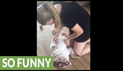 Bulldog Enjoys a Relaxing Upside Down Massage