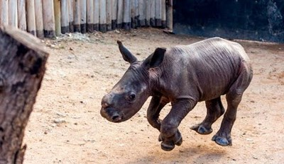 Baby Rhino Comes Running When His Name is Called