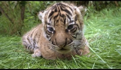 Try Not to Squee at These Adorable Tiger Cubs