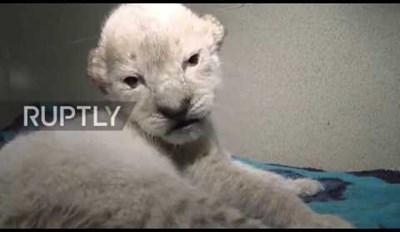 Rare Albino Lion Cubs Were Born at a Safari Park in Russia