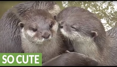 This Precious Otter Family Can't Stop Cuddling With Each Other