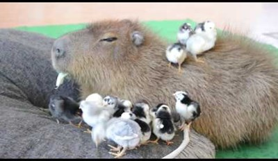 This Super Chill Capybara Is a Total Chick Magnet
