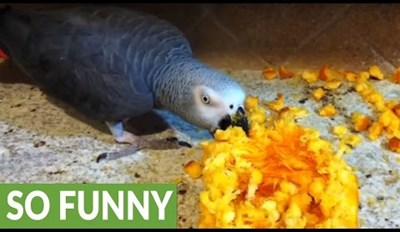 Einstein the Parrot Noms on a Delicious Pumpkin Mess