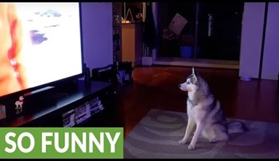 Lonely Husky Tries to Join the Pack of Wolves on TV