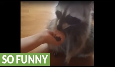 Pet Raccoon Shows off All of the Impressive Tricks He's Learned