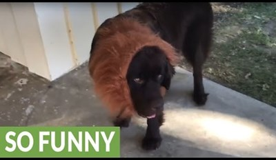 Samson the Newfoundland Does Not Want to Be a Lion for Halloween