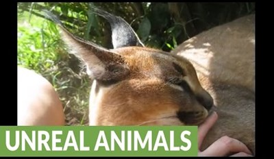 Exotic Caracal Gives Human Friend a Bath