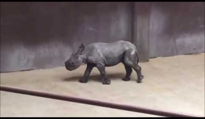 Black Rhino Calf Makes His Debut at the Great Plains Zoo